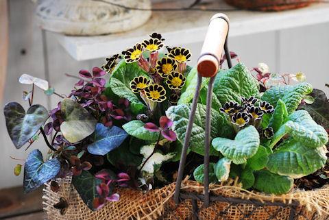 プリムラ ビクトリアナ寄せ植え20100209.jpg