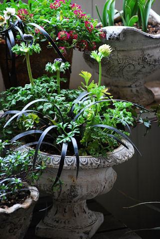 アネモネオーロラの寄せ植え20100213.jpg