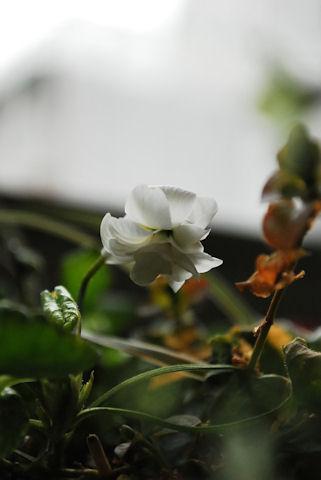 八重咲きニオイスミレ20100211.jpg