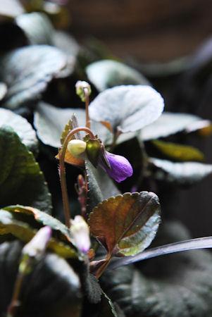 黒葉ビオララブラドリカ20100228_03.jpg