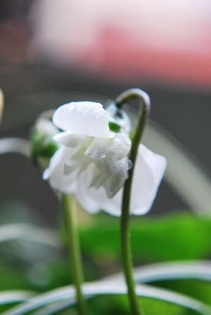 八重咲きニオイスミレ20100311.jpg
