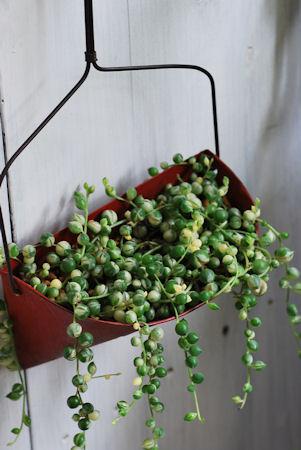 斑入りグリーンネックレス20100328.jpg