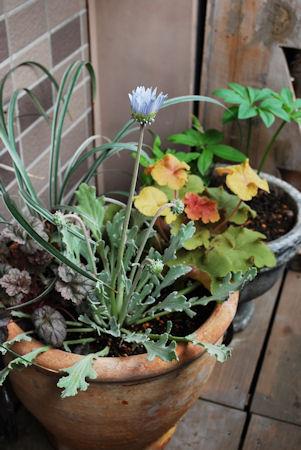アークトチスグランディスの寄せ植え20100401.jpg
