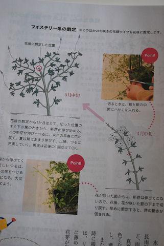 趣味の園芸フォステリー系の剪定.jpg