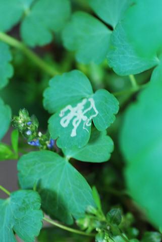 オダマキ20100413.jpg