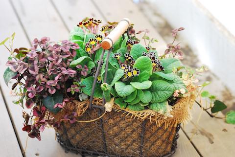 プリムラ ビクトリアナ寄せ植え20100413.jpg
