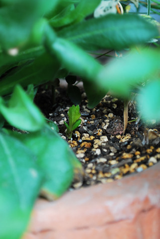 チョコレートコスモス ショコラ20100416.jpg