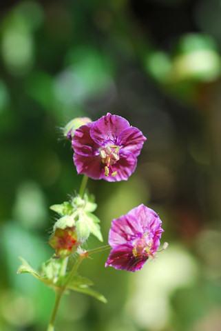 斑入り黒花ふうろ20100509.jpg