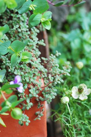 ブロウメアナ20100522.jpg