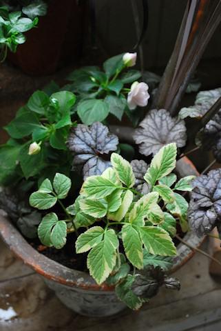 八重咲きインパチェンス ムシカ 寄せ植え20100608.jpg