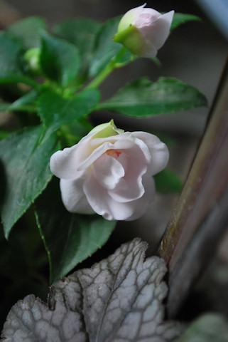 八重咲きインパチェンス ムシカ ソフトピンク20100608.jpg