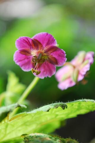 斑入り黒花ふうろ20100611.jpg