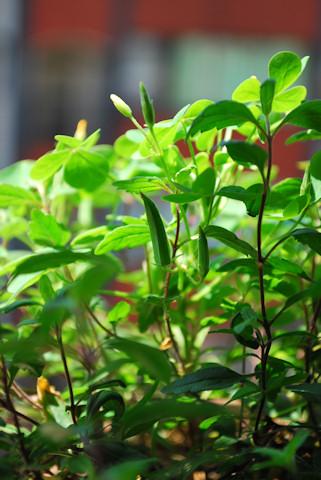 ベロニカ オックスフォードブルー20100618_03.jpg