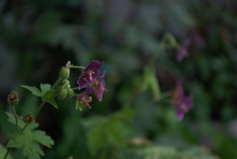 斑入り黒花ふうろ20100621.jpg