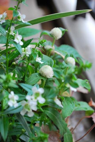 センニチコウの寄せ植え20100705.jpg
