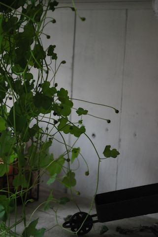 シンバラリア20100608.jpg