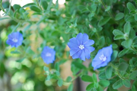 アメリカンブルー20100807.jpg