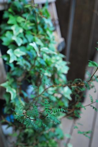 ソフォラ リトルベイビー20100807.jpg