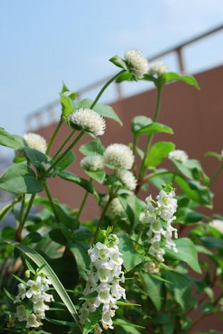 センニチコウの寄せ植え20100818.jpg