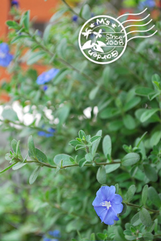アメリカンブルー20101010.jpg