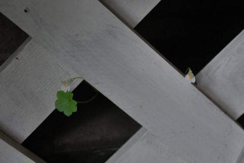 シンバラリア20101019.jpg