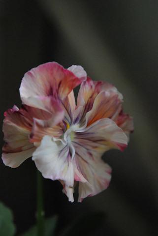 パンジー絞り咲き20101104.jpg