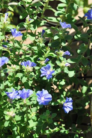 アメリカンブルー20101105.jpg