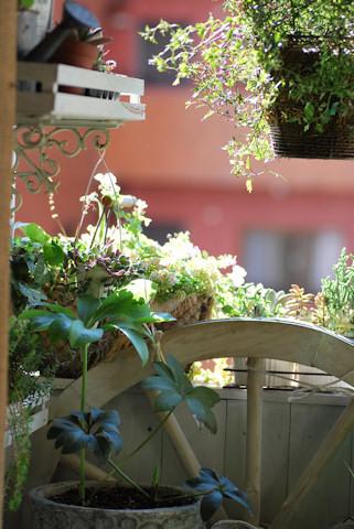 クリスマスローズ スモーキーグレーとルーセブラック20101116.jpg