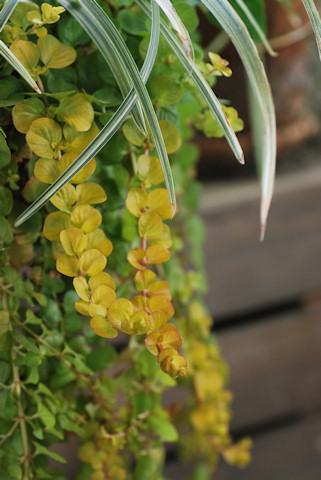 リシマキア ヌンムラリア オーレア20101119.jpg