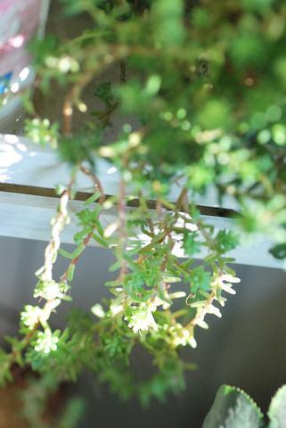 コーラルカーペットとミルキーウェイ20101127.jpg