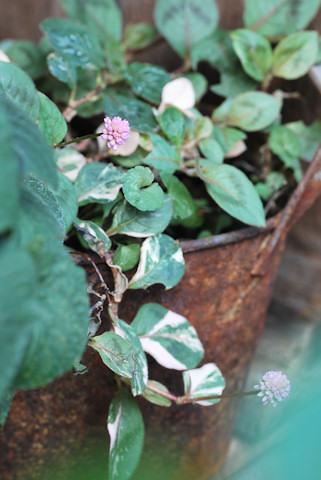 斑入りポリゴナム20101125.jpg