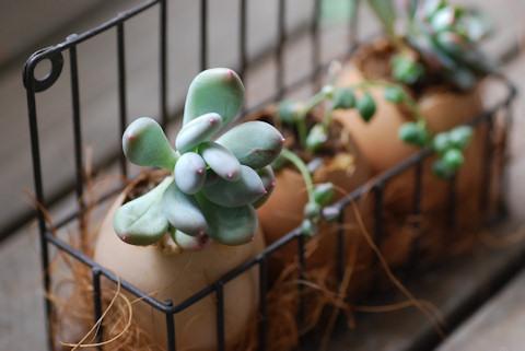 卵の殻入り多肉20101207_02.jpg