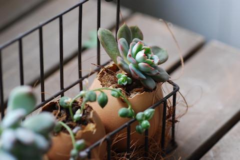 卵の殻入り多肉20101207_04.jpg