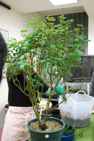 バラの仮剪定と植え替え20101207_03.jpg