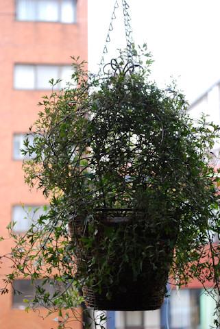 クレマチス ムーンビーム20101214.jpg