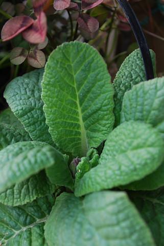 プリムラ ビクトリアナ寄せ植え20101221_02.jpg