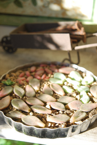 多肉の葉挿し20101217.jpg
