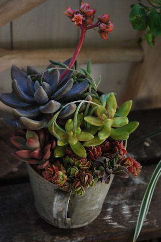 秋麗の寄せ植え20110105.jpg