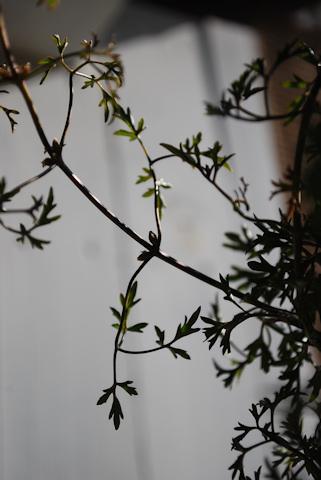 クレマチス ムーンビーム20110103.jpg