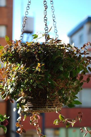 ベロニカ オックスフォードブルー20110107.jpg