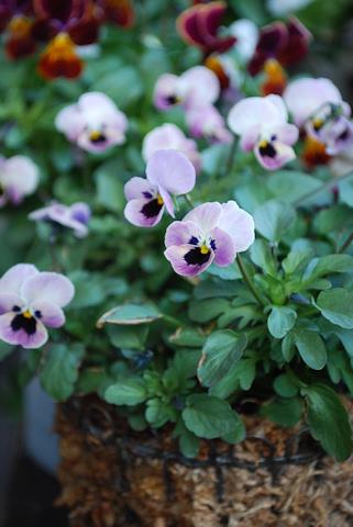 ビオラ ピンクのコアラ20110108.jpg