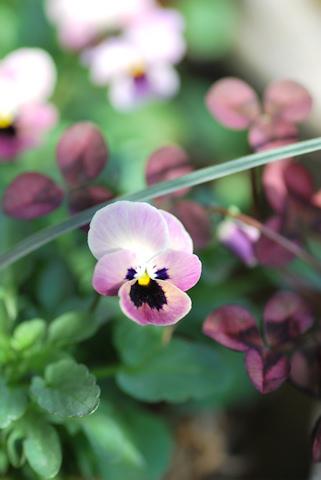 ビオラ ピンクのコアラ20110104.jpg