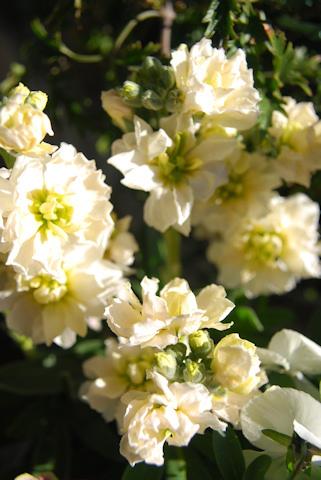 ストックビンテージマーブルホワイト20110118.jpg