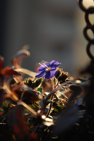 ベロニカ オックスフォードブルー20110122.jpg