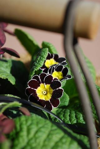 プリムラ ビクトリアナ シルバーレース20110122.jpg