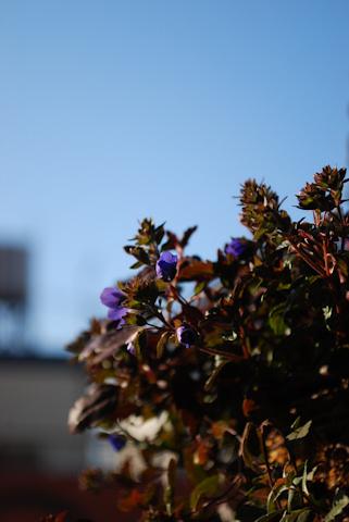ベロニカ オックスフォードブルー20110204.jpg