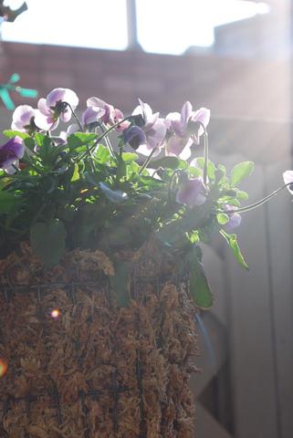 ビオラ ピンクのコアラ20110207.jpg