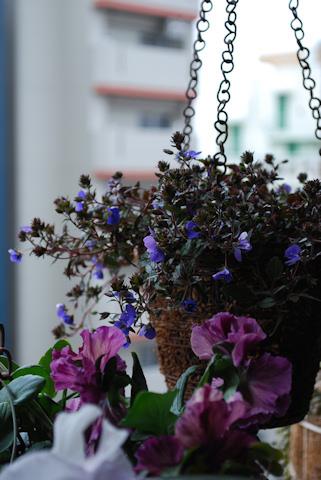 ベロニカ オックスフォードブルー20110217.jpg
