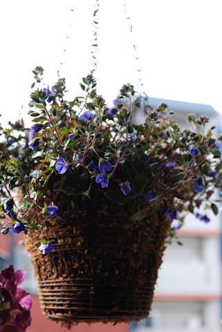 ベロニカ オックスフォードブルー20110224.jpg