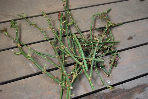 バラのの剪定20110226.jpg